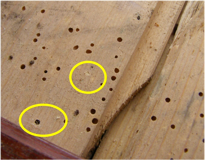 Guide on identifying woodworm and making a judgement on ...