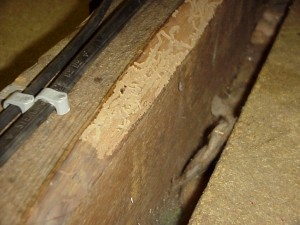 An example of damage by Bark Borer Beetle infestation in a loft in Wetherby, West Yorkshire.