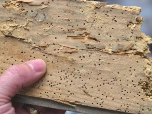 heavy infestation of Woodworm in a floorboard removed from a house in Leeds in Leeds